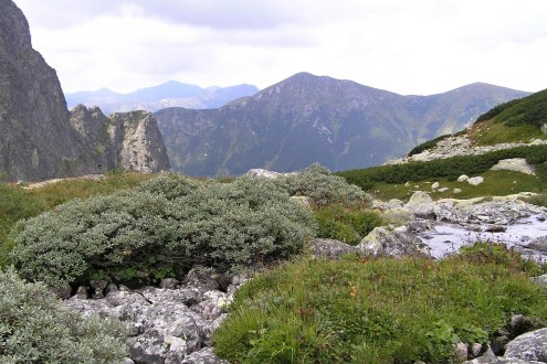 vŕba švajčiarska (Vysoké Tatry, 8/2007)