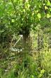 klon v hlavovej škôlke, z ktorého sa získavajú rezky na pestovanie sadeníc