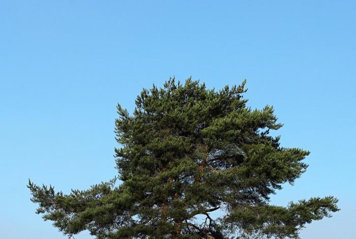 osamelá _ borovica lesná