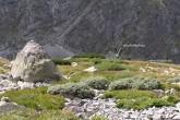 vŕba švajčiarska spolu s vŕbou bobkolistou