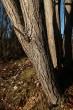 vŕba päťtyčinková - borka