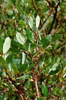 vŕba bobkolistá - vetvička s listami