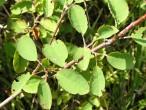 muchovník vajcovitý - vetvička s listami