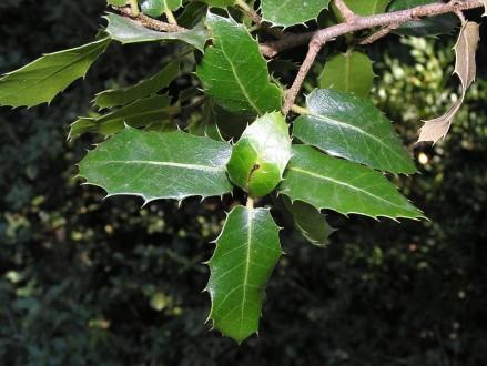dub kermesový