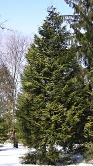 tuja riasnatá - Arborétum Liptovský Hrádok