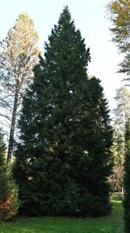 tuja riasnatá (Arborétum v Liptovskom Hrádku)