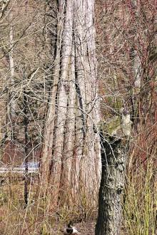 tisovec dvojradový - zhrubnutý prízemok kmeňa s výraznými koreňovými nábehmi (svalcovitosť)