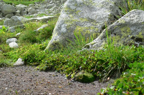 vŕba bilinná - snehové ležovisko (miesto kde zostáva dlho snehová pokrývka)