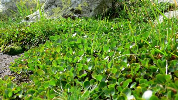 vŕba bylinná - súvislý koberec vŕby bilinnej