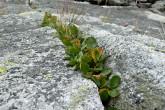 vŕba bilinná - vyfukovaná skalná štrbina