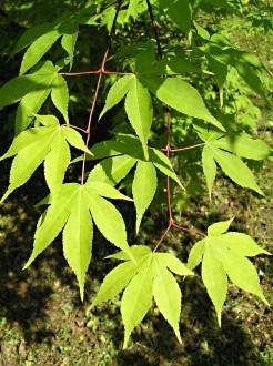 javor dlaňolistý - vetvička s listami