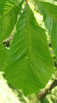 pagaštan pleťový - jednotlivý list