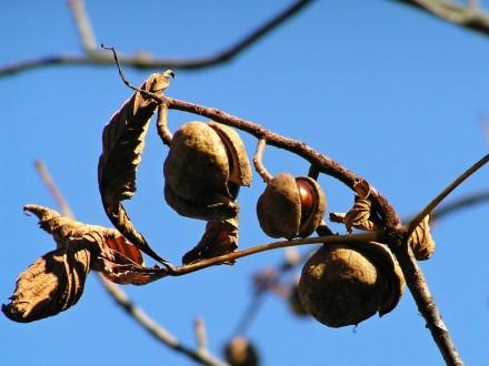 pagaštan pleťový - dozrievajúce (pukajúce) tobolky