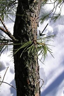 borovica tuhá -  adventívne výhonky s husto zoskupenými ihlicami