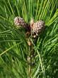 borovica limbová - šišky na jar druhého roku