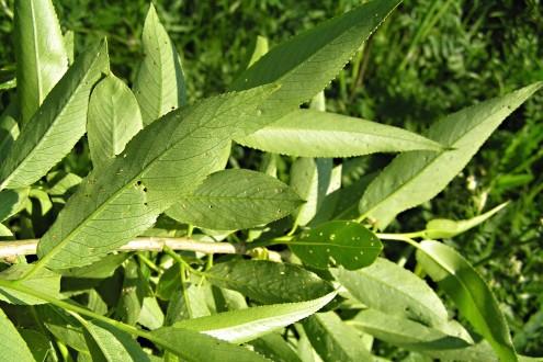 vŕba krehká - vetvička s listami (spodná strana)