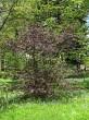 lieska obyčajná - červenolistá forma (Arborétum Liptovský Hrádok, 5/2021)