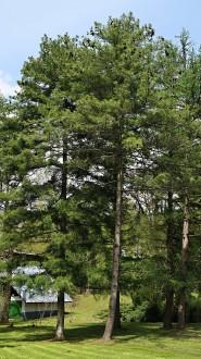 borovica Armandova - Arborétum Liptovský Hrádok (5/2021)