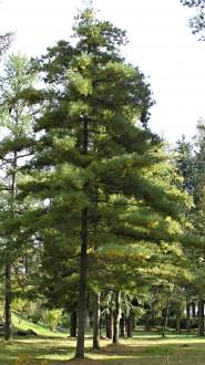 borovica Armandova (Arborétum Liptovský Hrádok, 10/2009)