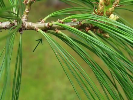 borovica Armandova - ihlice sú zoskupené po 5 na brachyblastoch (sekcia Strobus)