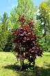 javor mliečny - červenolistá forma (Arborétum Liptovský Hrádok, 5/2021)