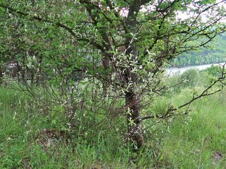 muchovník vajcovitý - Šútovská epigenéza, 480 m n. m. (5/2021)