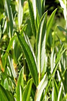 vŕba rozmarínolistá - vetvička s listami