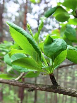 dráč obyčajný - zväzok listov vyrastajúcich na brachyblaste