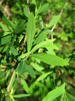 vŕba purpurová - vetvička s listami (vrchná strana)