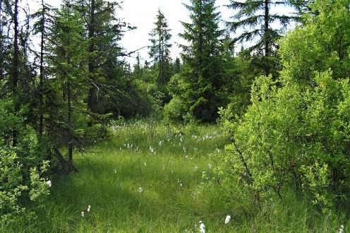 vŕba rozmarínolistá - rašelinisko - typické miesto výskytu vŕby rozmarínolistej