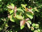 vŕba sliezka - vetvička s listami