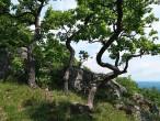 dub plstnatý - pokrivené kmene dubov plstnatých (výhľad Ľutov, 6/2021)