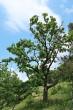 dub cerový - v prostredí lesostepi MPR Bradlo (6/2021)