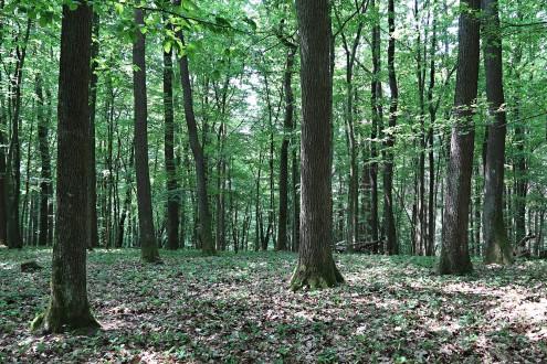 dub zimný - priame (plnodrevné) kmene