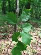 jarabina brekyňová - vetvička s listami