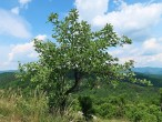 jarabina mukyňová - vrchol Bradla, 561 m n. m., NPR Bradlo (6/2021)