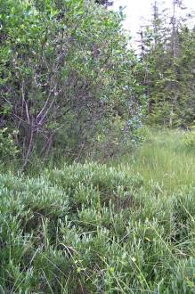 vŕba rozmarínolistá spolu s vŕbou päťtyčinkovou (vľavo hore)