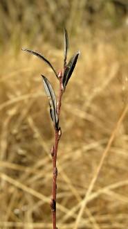 vŕba rozmarínolistá - ročný výhonok (letorast)