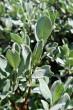 vŕba švajčiarska - vetvička s listami ( ♂ )