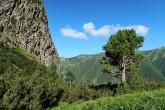 borovica limbová - v pásme kosodreviny (Vysoké Tatry, 7/2021)