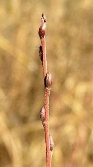 vŕba rozmarínolistá - púčiky