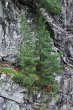 borovica limbová -