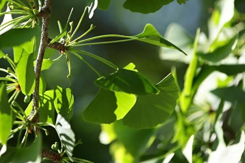 na brachyblaste vyrastajúci zväzok listov spolu so samičími kvetmi