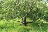 breza previsnutá - svalcovitá forma