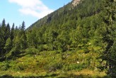 breza previsnutá v lavínovýnovom žľabe, ktorý stabilizije (Kôprová dolina)