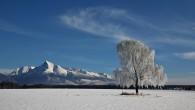 breza previsnutá