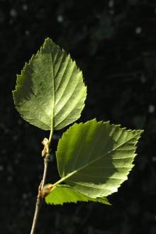 vetvička s listami (rub)