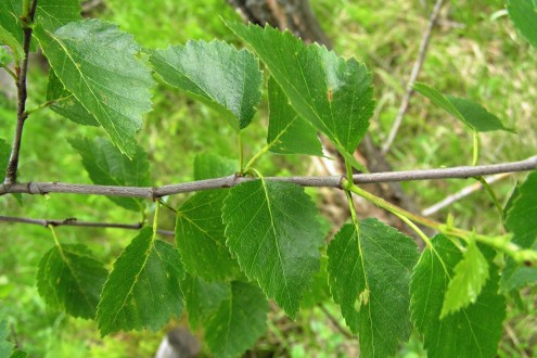 breza karpatská - vetvička s listami
