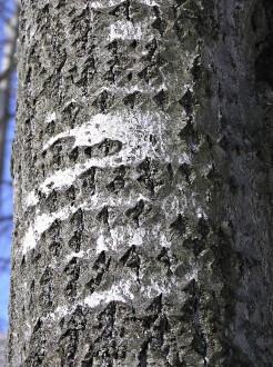 topoľ osikový  - stredná časť kmeňa s kosoštvorcovými slenticelami