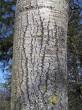 topoľ osikový  - stredná časť kmeňa